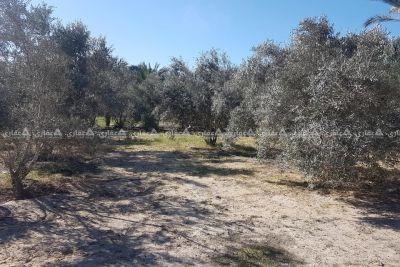 قطعة ارض مالية ٢٤٠ متر ومشجرة زيتون للبيع